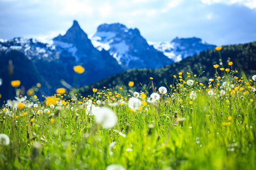 Salzkammergut「Alpen Landscape - Green Field Meadow full of spring flowers - selective focus (For diffrent focus point check the other images in the series)」:スマホ壁紙(2)
