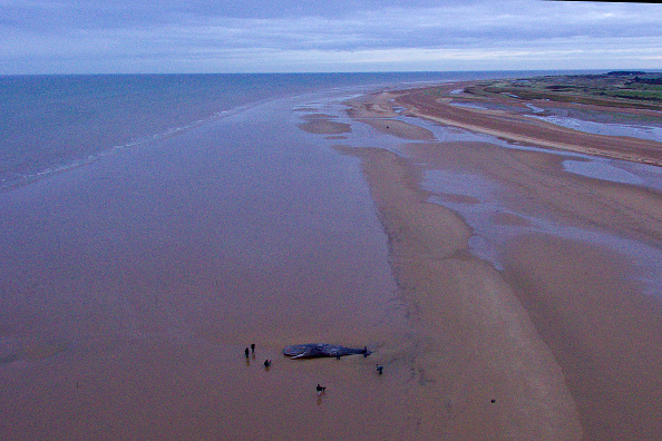 Aquatic Mammal「Beached Hunstanton Sperm Whale Dies」:写真・画像(4)[壁紙.com]