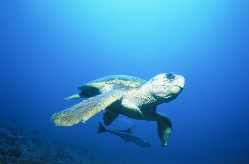 Green Turtle「Swimming sea turtle」:スマホ壁紙(9)