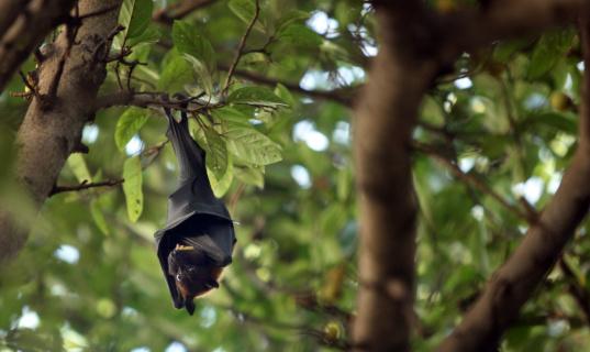 bat「A bat hangs on a tree in Mumbai」:スマホ壁紙(17)
