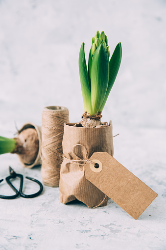 Hyacinth「Hyacinth plants in wrapping paper」:スマホ壁紙(6)