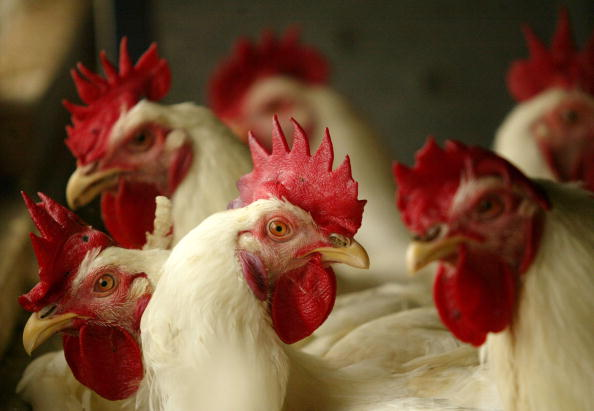 飼育動物「Indonesian Poultry Industry Threatened By Avian Flu」:写真・画像(1)[壁紙.com]