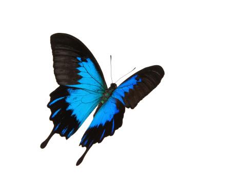 虫・昆虫「絶縁スワローテイルフライングブルーマウンテン」:スマホ壁紙(9)