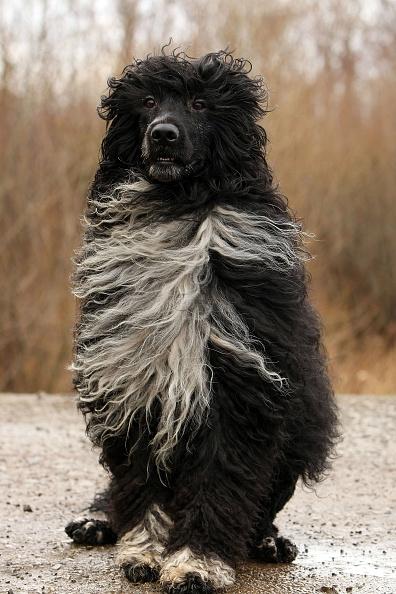 Christopher Furlong「Portugese Water Dog Prepares For Crufts 2009」:写真・画像(18)[壁紙.com]