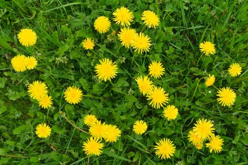 たんぽぽ「Dandelion in Spring」:スマホ壁紙(11)