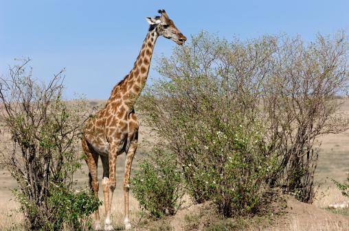 Giraffe「Wild Masai Giraffe in Bushes」:スマホ壁紙(4)