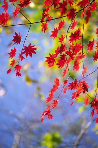 Japanese Maple「Autumnal red leaves」:スマホ壁紙(3)
