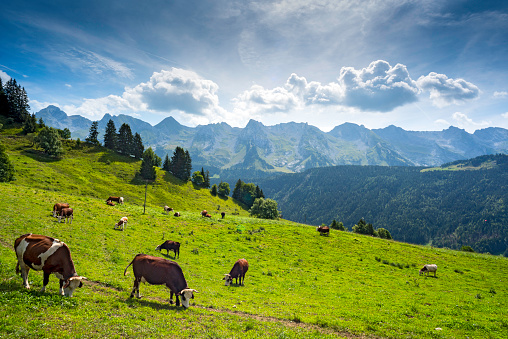 Pasture「Cows grazing in altitude on an Alpine meadow above the Village of Le Grand-Bornand, near the Aravis Mountain Range, Haute Savoie, France」:スマホ壁紙(0)