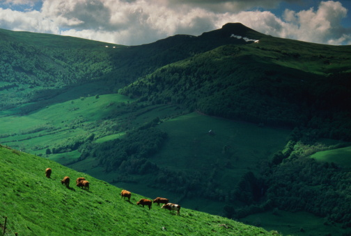 Volcanic Landscape「Cows grazing in field in rolling country landscape」:スマホ壁紙(11)