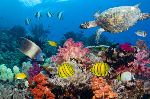 Soft Coral「Turtle and tropical reef fish」:スマホ壁紙(12)