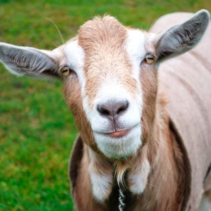Nanny Goat「Goat」:スマホ壁紙(1)