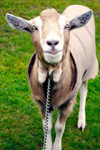 Goat:スマホ壁紙(壁紙.com)
