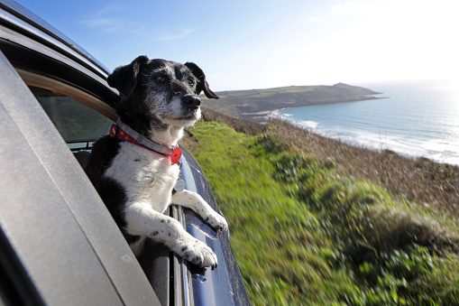 Domestic Animals「Dog looking out of car window at coastline」:スマホ壁紙(9)