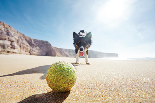 Education Training Class「Dog looking at ball on sunny beach from low angle.」:スマホ壁紙(5)