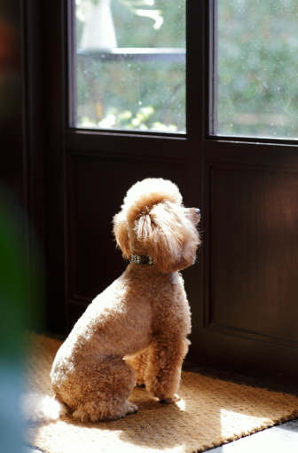 Waiting「A dog looking at the outside of the door」:スマホ壁紙(19)
