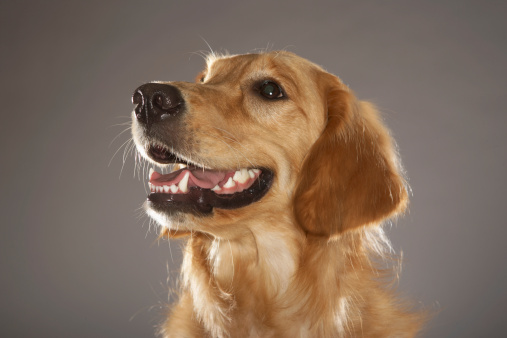 Animal Teeth「Dog looking away」:スマホ壁紙(5)