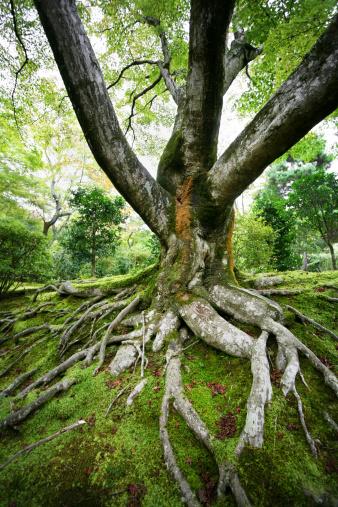 Single Tree「old maple tree」:スマホ壁紙(13)