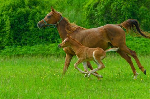 Stallion「Asil Arabian horses - mare and foal in gallop」:スマホ壁紙(6)