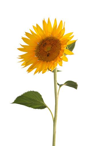 Sunflower「Bright sunflower」:スマホ壁紙(5)
