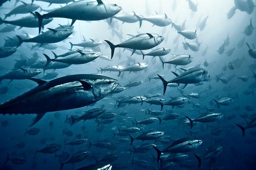 Sea「Tuna School」:スマホ壁紙(4)