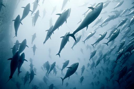 Large Group Of Animals「Tuna School」:スマホ壁紙(16)