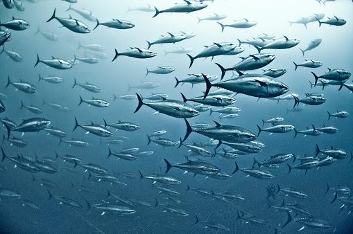Fish「Tuna School」:スマホ壁紙(15)