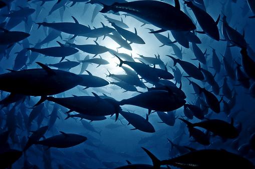 Mediterranean Sea「Tuna School」:スマホ壁紙(7)