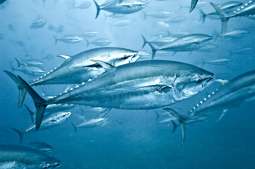 School of Fish「Tuna School」:スマホ壁紙(14)