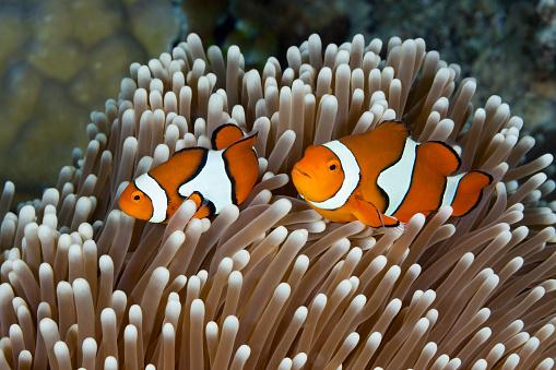 Clownfish「Clown Anemonefish, Australia」:スマホ壁紙(12)
