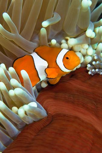 Soft Coral「Clown anemonefish in anemone, Great Barrier Reef, Australia.」:スマホ壁紙(5)