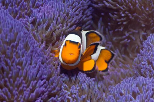 Clownfish「Clown anemonefish」:スマホ壁紙(17)