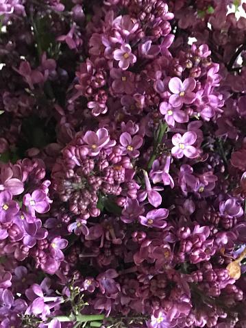 ピンク色「Lilacs」:スマホ壁紙(19)