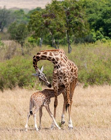 キリン「Giraffes, mother feeding baby, Masai Mara National Reserve, Kenya」:スマホ壁紙(4)