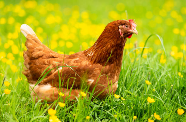 Spring chicked - hen in grass and buttercups:スマホ壁紙(壁紙.com)