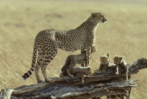 African Cheetah「cheetah: acinonyx jubatus  with cubs  kenya     」:スマホ壁紙(15)