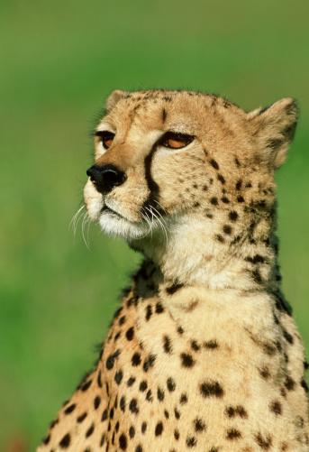 African Cheetah「cheetah: acinonyx jubatus  portrait  wildlife model」:スマホ壁紙(15)