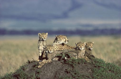 African Cheetah「cheetah  acinonyx jubatus female and cubs at rest masai mara n.r.」:スマホ壁紙(17)
