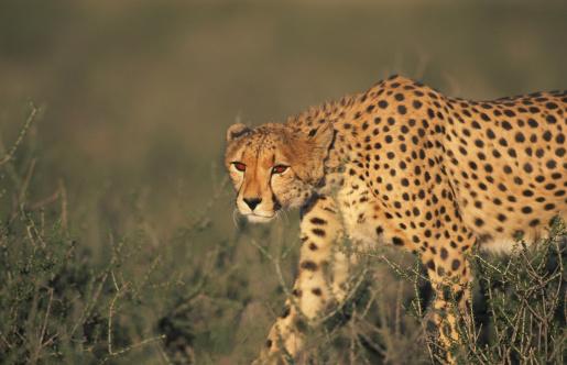 African Cheetah「cheetah acinonyx jubatus walking kalahari gemsbok n.p.,r.s.a.」:スマホ壁紙(2)