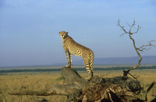 African Cheetah「cheetah: acinonyx jubatus」:スマホ壁紙(4)