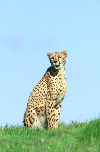 African Cheetah「cheetah: acinonyx jubatus  in green grass  (wildlife model)」:スマホ壁紙(16)