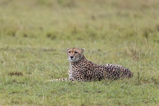 African Cheetah「Cheetah, Acinonyx jubatus, lying on meadow at rain, Masai Mara National Reserve, Kenya, Africa」:スマホ壁紙(5)