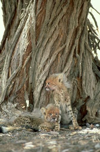 African Cheetah「cheetah: acinonyx jubatus  cubs  kalahari gemsbok np, s.a」:スマホ壁紙(1)