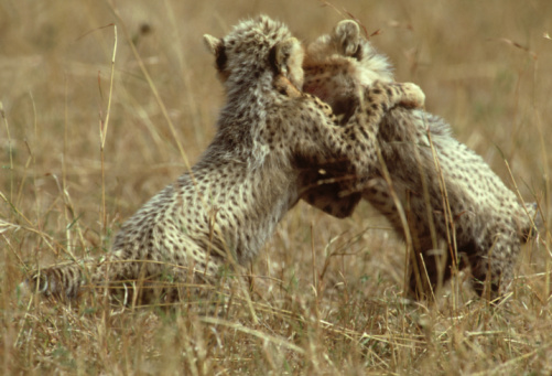 African Cheetah「cheetah: acinonyx jubatus  cubs playing  kenya」:スマホ壁紙(4)