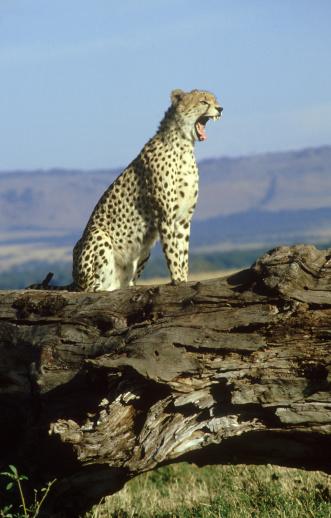 African Cheetah「cheetah: acinonyx jubatus  yawning」:スマホ壁紙(10)