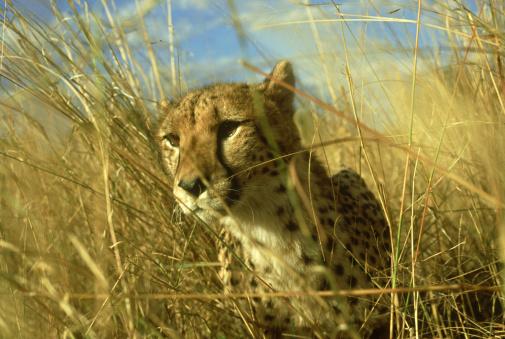 African Cheetah「cheetah: acinonyx jubatus  stalking  zimbabwe」:スマホ壁紙(0)