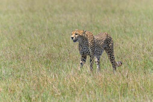 African Cheetah「Cheetah, Acinonyx jubatus, Masai Mara National Reserve, Kenya, Africa」:スマホ壁紙(15)