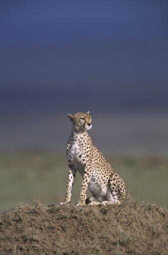 African Cheetah「cheetah acinonyx jubatus on mound kenya」:スマホ壁紙(11)