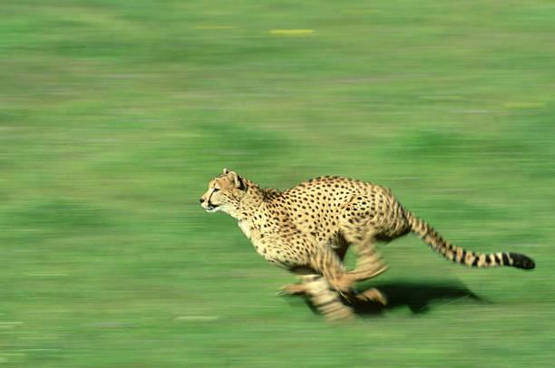 cheetah:  acinonyx jubatus  running - wildlife model  u.s.a.:スマホ壁紙(壁紙.com)