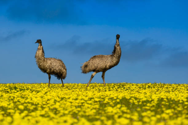 Two emus standing in a canola field, Port Lincoln, South Australia, Australia:スマホ壁紙(壁紙.com)