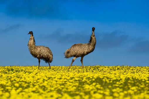 アブラナ「Two emus standing in a canola field, Port Lincoln, South Australia, Australia」:スマホ壁紙(10)